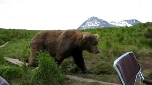 A Giant Grizzly Coming Over And Sitting Down Beside A Fisherman In Alaska
