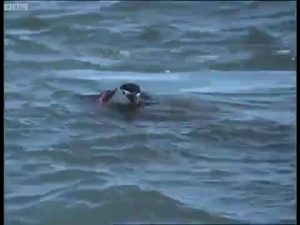 A Wounded Chinstrap Penguin Succumbs To Its Injuries