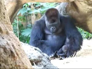 """Haoko The Gorilla Loves Spending Time With His Kids, But His Missus Doesn't Allow It When They're Too Young, So He """"abducts"""" Them, Forcing The Mom Into A Harmless, Playful Chase. It's Sort Of A Family Tradition, As He Did It With All 3 Of His Kids"""