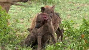 Hyena Rips Off Another Hyena's Ear