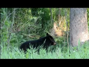 Moose Watching As Her Calf Gets Eaten Alive By A Black Bear
