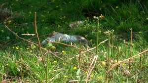 Stoat Snapping A Rabbit's Neck