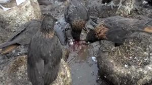 Striated Caracaras Eating A Live Imperial Shag