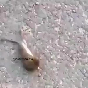 Wasp Attacks A Mouse