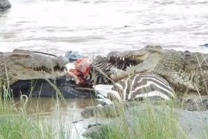 Alive Zebra With Bad Facial Injury Is Left To The Crocodiles