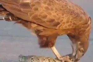 Eagle Eats The Insides Of A Writhing Snake